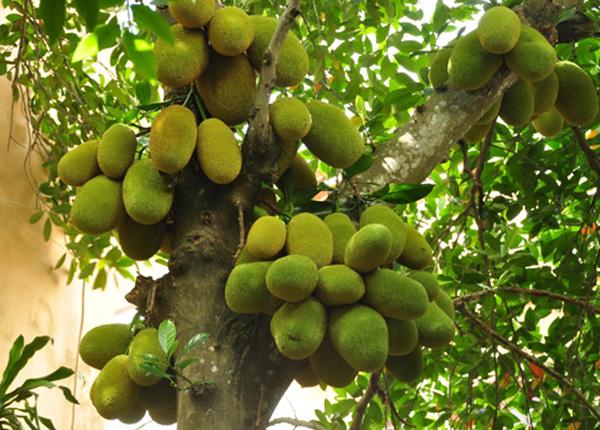 Mít là một cây to, cao có thể tới hơn 30m, với cành non rất nhiều lông ở ngọn